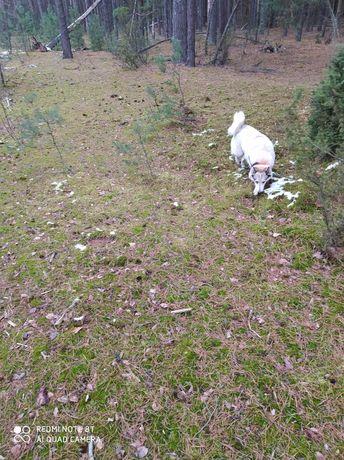 Łajka zachodnio-syberyjsa likwidacja hodowli