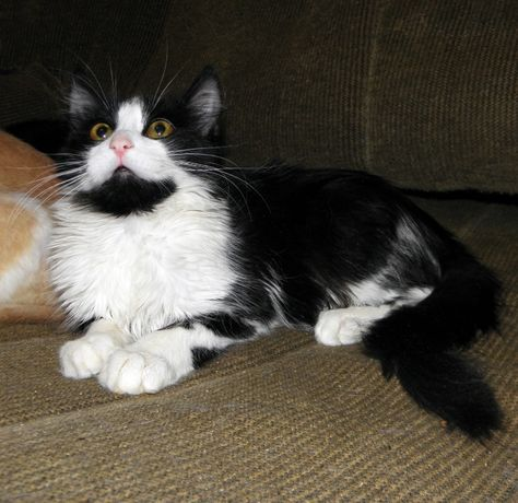 Котик Лунтик (папа - мейн-кунистый котик, бабушка/мама - сфинкс браш)