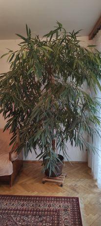 Roślina , wysokość ok 2,5m