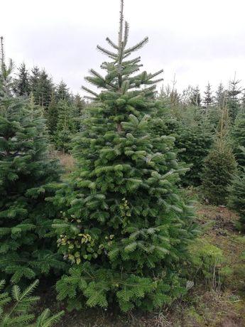 Choinki drzewkaświąteczne jodla kaukaska plantacja CHOINKI.WILKOWO.PL