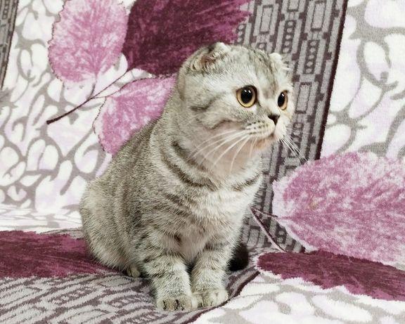 Вислоухая серебристая дева. Котята вислоухие
