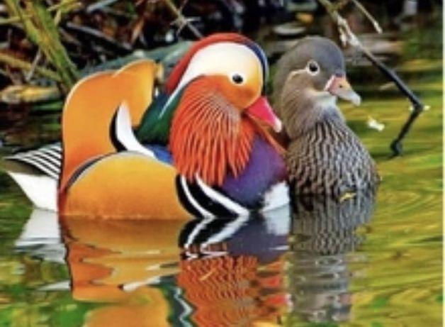 Casal de patos mandarins portadores de branco