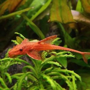 Loricaria red 4 -5 cm