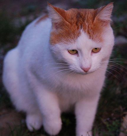 Пропал кот белый с рыжими пятнами