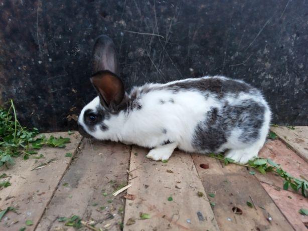 Продам кролів, помесь