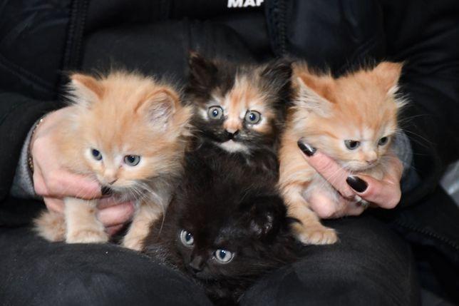 Отдам пушистых котят