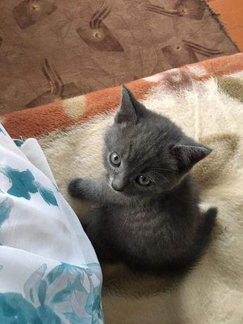Котик. Британець