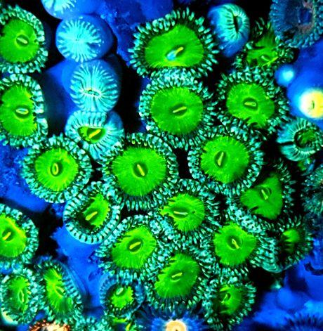 Zoanthus Zoa Green People Eater akwarium morskie akwarystyka morska