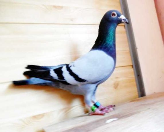 Gołębie Pocztowe!Jasny niebieski Dv+czip + tel-krótki Nr- Glazer!Oka