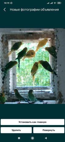 Попугаї хвилясті