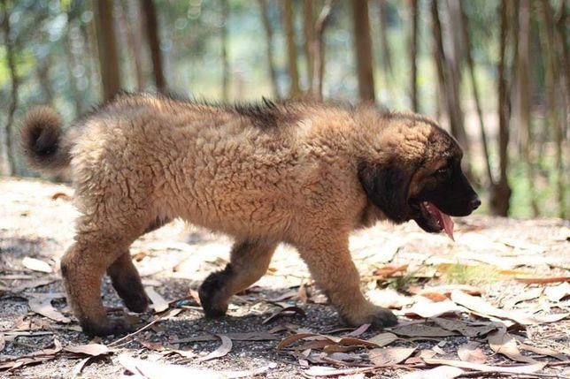 Cachorro Serra da Estrela com Lop e Afixo