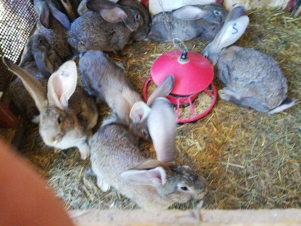 Młode króliki olbrzym belgijski
