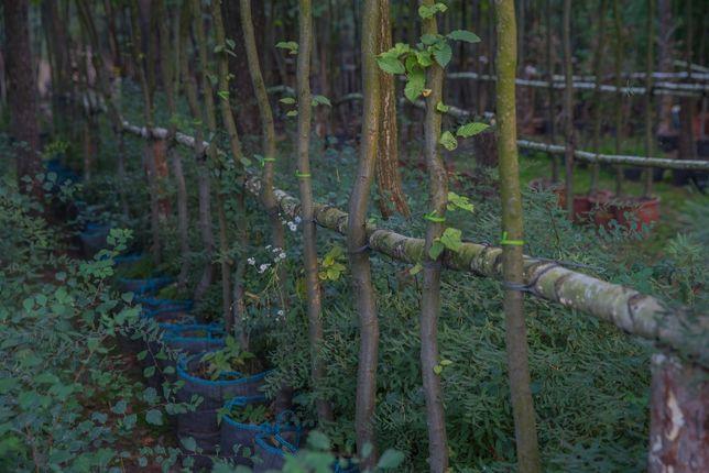 Grab Pospolity(Carpinus Betulus), wys. 4-5m,obwód pnia 8-10cm z gruntu