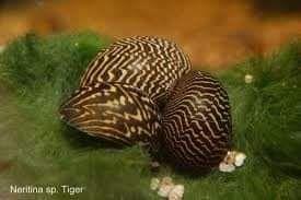 Ślimaki do akwarium/ślimak Neritina natalensis sp. Tiger