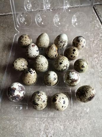 Jajka przepiórcze, jajka od przepiórki