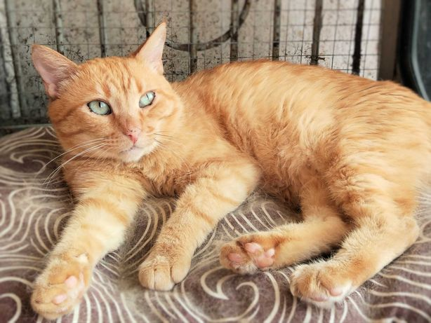 Шикарный ласковый красавец кот 11 месяцев кастрирован