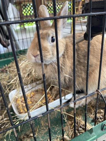 Декоративний кролик