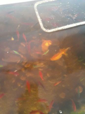 Акваріумні рибки молінезії