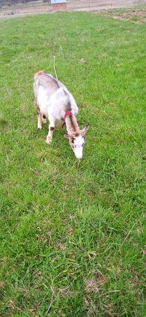 Продам  кози...в хороші роки