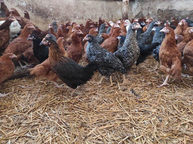 Młoda kura nioska 15