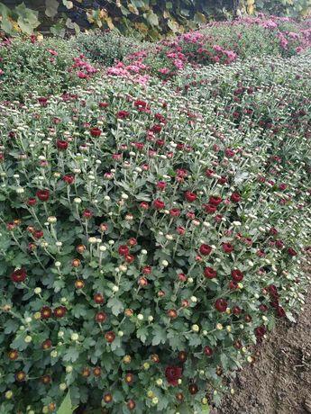Хризантема квіти