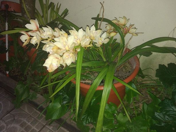 Orquídeas em vaso