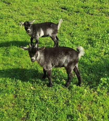 Kozy miniaturki czystorasowe!