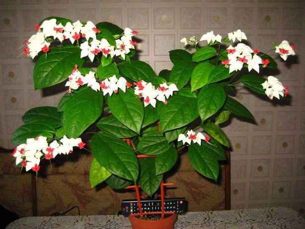 Клеродендрум Томпсона, молодое растение.