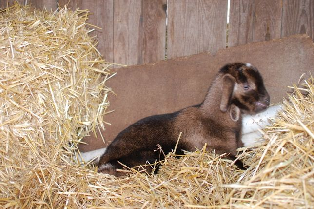 Перспективный козлик от козла 100% альпийского, коза 80 % нубийка.