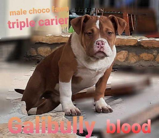 American bully choco fawn TRIPLE CARIER