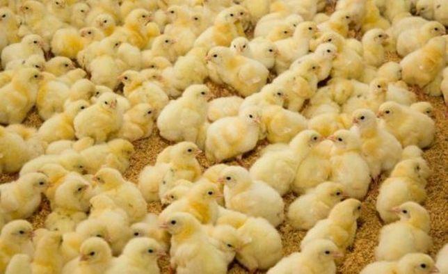 Суточные и подрощенные цыплята бройлеры