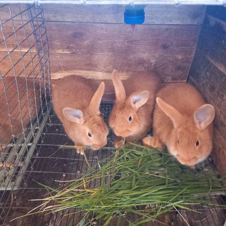 Продам кроликов Бургунцев Новомосковск
