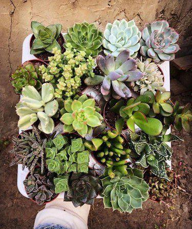 Суккуленты и кактусы в кашпо, седумы, синокрассулы, sedum, эхиверия