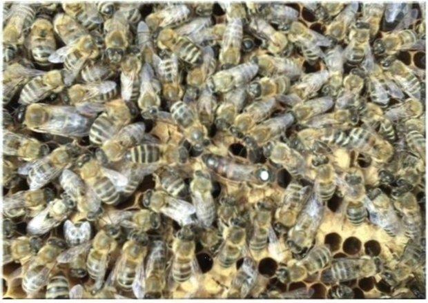 От материнки А.Леклера. Пчеломатка. Карники. F1. Плодные матки.