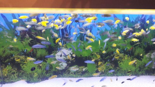 pyszczaki yellow,maingano, socolofi,elongatus Mphanga oraz inne