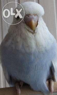 Выставочные волнистые попугайчики разные цвета.