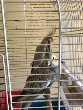 Papugi nimfy