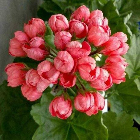 Продам Тюльпановидную пеларгонию Red Pandora