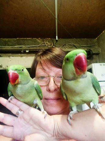Попугай Продаю птенцов Александрийского попугая