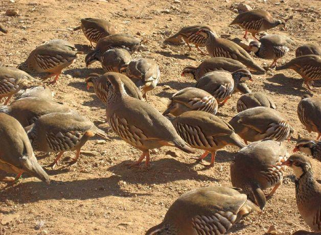 Мясо куропатки,фазана,дикая утка