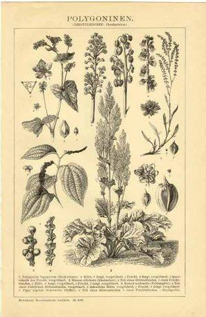 ROŚLINY - Kwiaty cz. 2 oryginalna XIX w. grafika do wystroju wnętrza