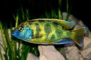 Pyszczak Nimbochromis venustus elblag