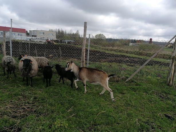 Sprzedam kozę roczną