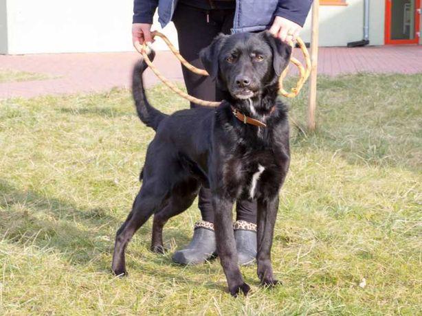 Major - w typie Labrador; młody i towarzyski