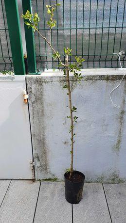 Azerolo arvore fruto certificado