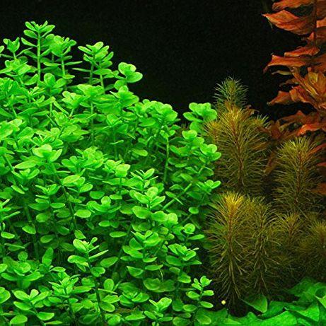 Bacopa monnieri rośliny akwarium Bacopa drobnolistna