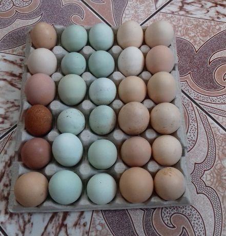 Jaja lęgowe od kur mix