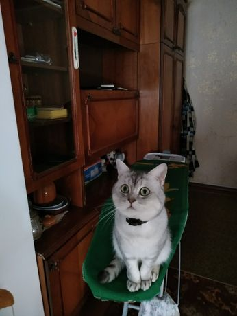 Вязка кот скоттиш -страйт