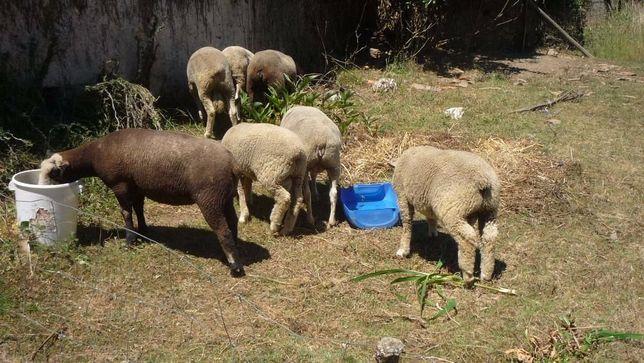 rebanho Ile de France, P3 puras, ver videolink de todos os animais
