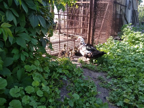 Мускусная утка с утятами